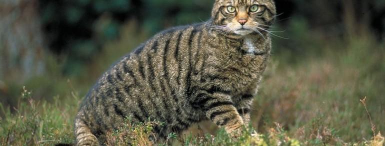 slike crnih maca usnica