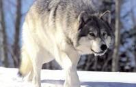 Povratak vuka